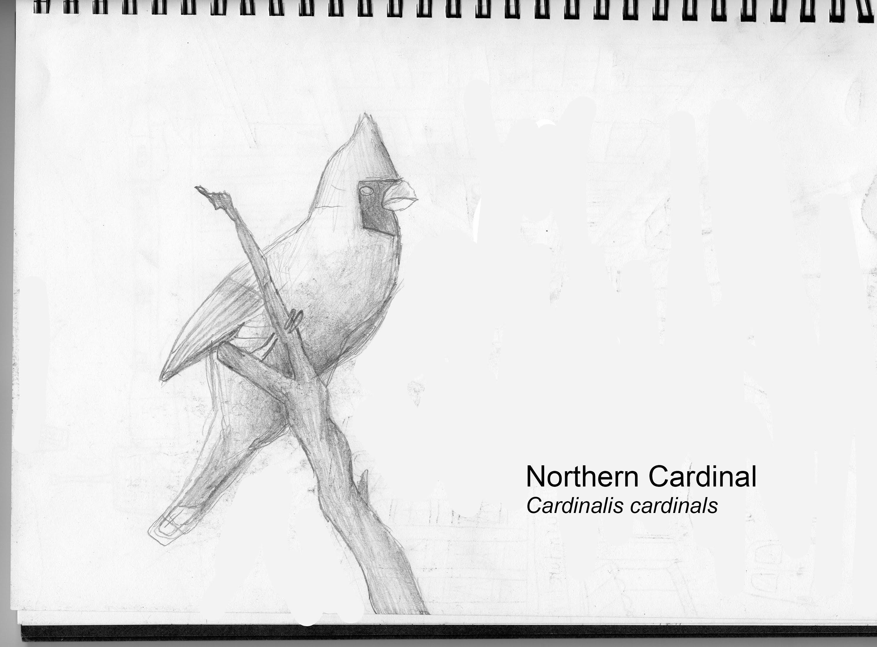 CITY_Alec_Jackman_NorthernCardinal.jpg