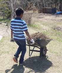 Carrying roots in a wheelbarrow